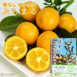 タネなし金柑 『 ぷちまる 』 15cmポット接木苗 ( プチマル )