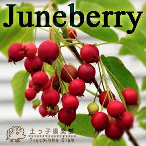 春の白い花、夏の赤い実、秋の紅葉と三拍子そろった果樹!「6月のベリー」です。【在庫限り!!】...