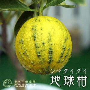 地球柑(シマダイダイ) 18cmポット苗
