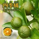 ■エントリーで全品 ポイント5倍!■ 四季橘 『 カラマンシー 』 15cmポット接木苗 ( 四季柑 )