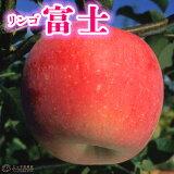 りんご 『 富士 ( ふじ ) 』 15cmポット苗