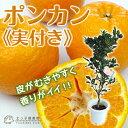 《実付き!!》ポンカン 接ぎ木苗 6号鉢植え