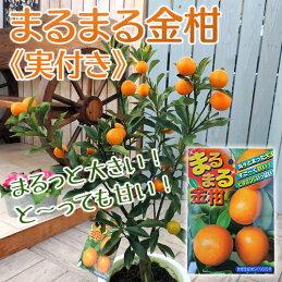 《実付き!!》まるまる金柑(キンカン)6号鉢植え