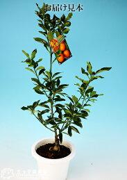まるまる金柑(キンカン)6号鉢植え