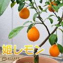 【珍種】姫レモン(ヒメレモン) 15cmポット接木苗