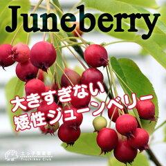 コンパクトサイズのジューンベリー!春の白い花、夏の赤い実、秋の紅葉!【珍種】矮性ジューン...