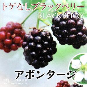 トゲなしブラックベリー『アボンタージ』(ジャンボ)10.5cmポット苗
