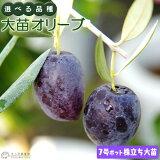 オリーブ 株立ち大苗 (全9品種) 4年生 7号ポット苗 【 選べる品種 】