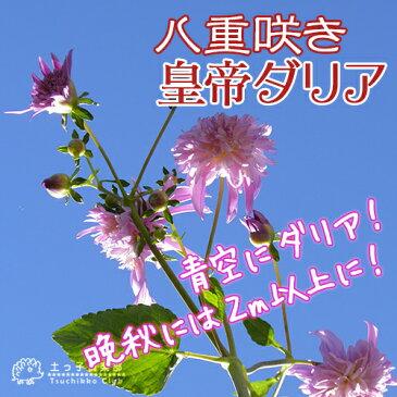 八重咲 皇帝ダリア(宿根性木立ダリア) 10.5cmポット苗