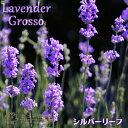 芳香、耐寒、耐暑、耐湿性よし!シルバーリーフが美しいラベンダー!ラベンダー 「グロッソ」 1...