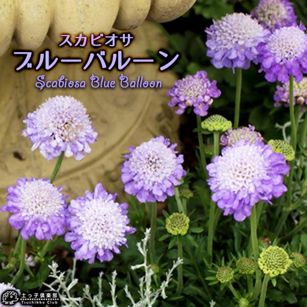 スカビオサ 『 ブルーバルーン 』 10.5cmポット苗