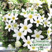 常緑クレマチス 『カートマニージョー』 モンタナ系 9cmポット苗