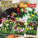 秋冬の花苗24個セット 【 送料無料 】( パンジー ビオラ