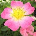 生育旺盛なミニバラ!広く愛されています!四季咲きミニバラ【雅(みやび)】12cmポット苗
