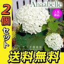 アジサイ アナベル 白 10.5cmポット 【 送料無料 】 【 2個セット 】