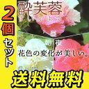 酔芙蓉 ( スイフヨウ ) 9cmポット苗 【 送料無料 】 【 2個セット 】