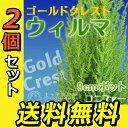 コニファー 『 ゴールドクレスト・ウィルマ 』 12cmポット苗 【 送料無料 】 【 2個セット 】