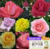 【訳あり・在庫処分】 バラ 2年生 12cmポット苗(2品種セット)