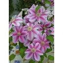 ピンクの大輪種、四季咲き性強く育てやすさバツグン!クレマチス ドクターラッペル 9cmポット苗