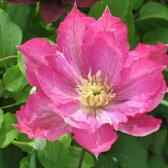 クレマチス 『花まつり』 パテンス系(早咲き大輪系) 9cmポット苗
