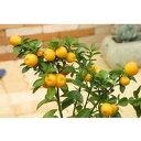 鉢植え、庭植え、ベランダガーデニングに最適です。タネがないから食べやすい金柑!タネなし金...