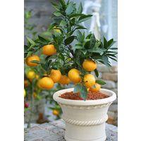鉢植え、庭植え、ベランダガーデニングに最適です。種がないので食べやすい!温州ミカン温州ミ...