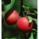 鉢植え、庭植え、ベランダガーデニングに最適です。一本で結実する手間いらずなスモモ!「メス...
