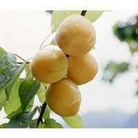 鉢植え、庭植え、ベランダガーデニングに最適です。一本でも実をつけます。「アンズ」杏 / アン...