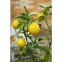 トゲがないから、扱いやすい!人気品種です。トゲなしレモン 18cmポット接ぎ木苗