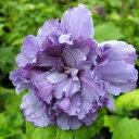 鉢植え、庭植え、観賞用に最適です。'東洋のハイビスカス!夏を感じさせる花、咲きほこる'木...