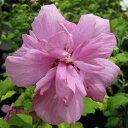 鉢植え、庭植え、観賞用に最適です。'東洋のハイビスカス!夏を感じさせる花、咲きほこる'木槿(ムクゲ) 【パープルージュ】 4号ポット苗
