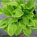 日陰で美しく育つ植物で、素敵なシェードガーデンに!ホスタ(ギボウシ) ゴールデンティアラ 1...