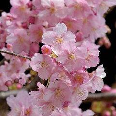 最近話題になる、2月に満開の早咲き桜!桜「河津桜(かわづざくら)」15cmポット苗 05P01Mar15