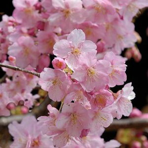 最近話題になる、2月に満開の早咲き桜!桜「河津桜(かわづざくら)」15cmポット苗