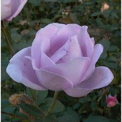 2011年 バラの春苗です! 売り切れの節はご容赦ください。クライミングローズ「ブルームーン」 ...