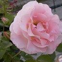 \1780/バラを育てる喜び、庭やベランダで咲くバラたち大輪ツルバラ 「ロココ」 2年生接ぎ木苗