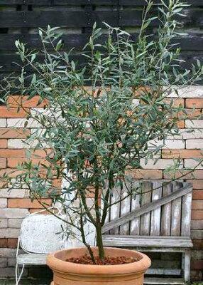鉢植え、シンボルツリーに最適です!オリーブの樹 【ネバディロブランコ】 6号ポット苗