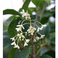 鉢植え、庭植え、観賞用に最適です。いつでも咲いて、いつでもよい香りスィートオリーブ 四季...
