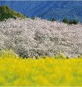 ベランダガーデニングや家庭園芸、庭つくりにピッタリです!桜は人生の悲喜こもごもを象徴する...