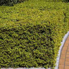 艶やかな緑の庭木!5本セット(約1m分)でお届けです!!ボックスウッド(西洋ツゲ) 15cmポッ...