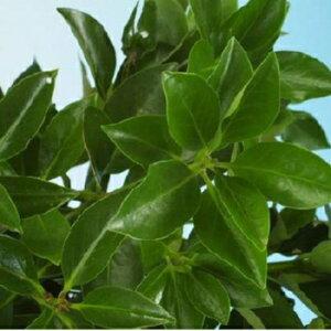 仏様にお供えする木! 近くにあると、何かと便利な木!シキミ 15cmポット苗