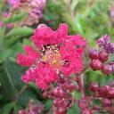 一才性サルスベリ。小さい樹でも沢山花を咲かせます!サルスベリ【ペチートレッド】 12cmポット苗