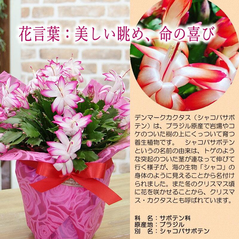 送料無料【鮮やかに咲かせるたくさんの花デンマークカクタスシャコバサボテン鉢花】鉢植え花ギフトプレゼント