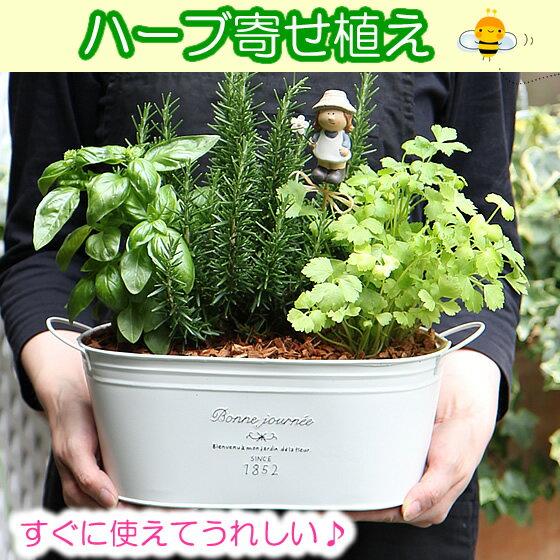【かわいいブリキ鉢・キッチンハーブの寄せ植えセット(キッチンハーブ3種類)】