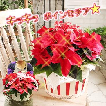 キラキラ光る!ラメ付きポインセチアに無料変更可能 送料無料【ポインセチア クリスマス サークルボリュームセット 光るポインセチアに変更可能】鉢花 鉢植え 寄せカゴ 誕生日 クリスマス