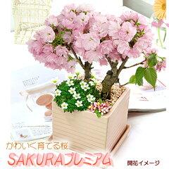 かわいいピンク陶器鉢で室内お花見♪【限定数販売】かわいい山野草もいっしょ♪お家でお気軽お...