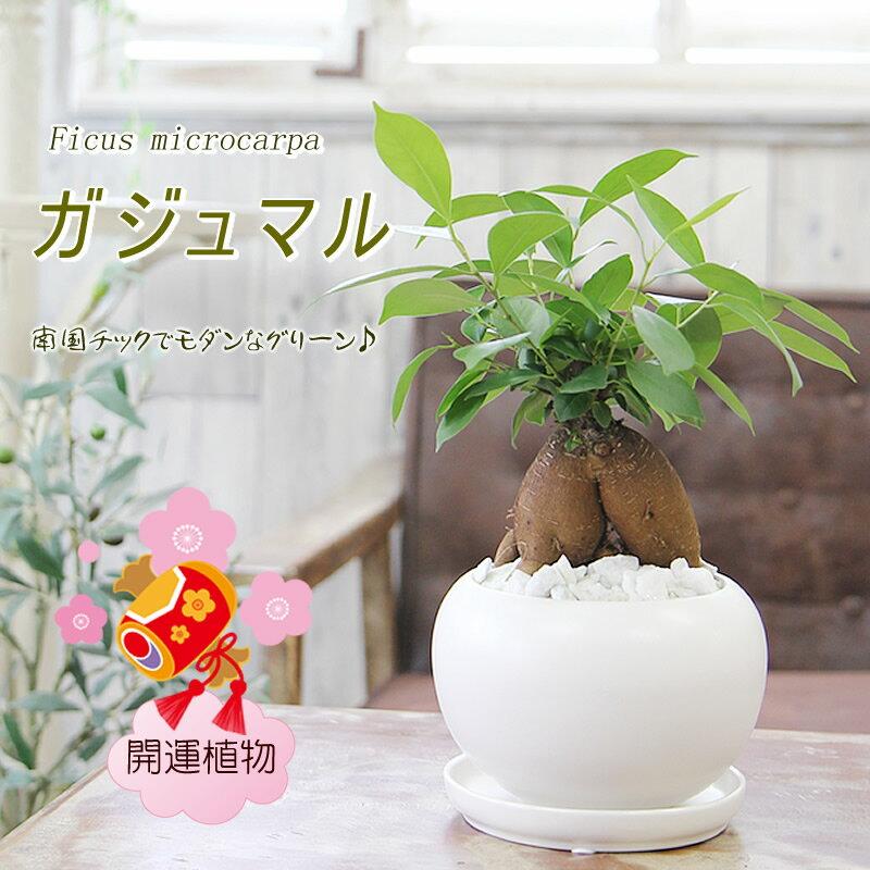 フラワーポケット塚口ガーデン『幸福をもたらす精霊が住む多幸の樹ガジュマル』