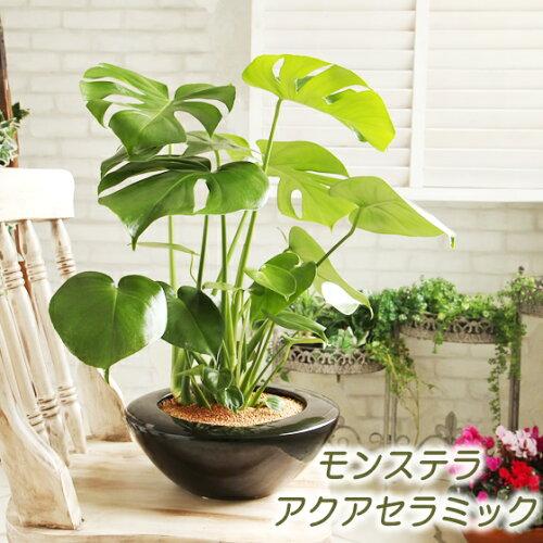 送料無料【アクアセラミック モダンに飾る大きな葉はアジアンで人気No1!モンステラ UFO型陶器鉢...