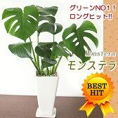 観葉植物 インテリア モンステラ大きな葉はアジアンで人気No1!モンステラ(白角ツルツル陶器鉢)【05P03Dec16】