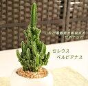 観葉植物 インテリア【あす楽対応】電磁波を吸収すると有名なサボテンです☆人気のスタイリッシ...